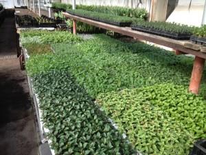 Småplantor att plantera om