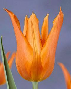 tulipa_ballerina_011