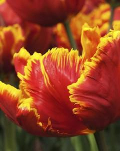 tulipa_bright-parrot_011
