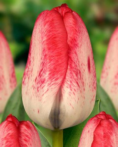 tulipa_denise_011