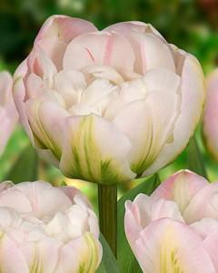 tulipa_finola_011