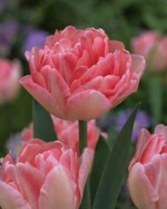 tulipa_foxtrot_011