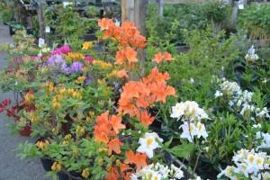 Azaleor o Rhododendron